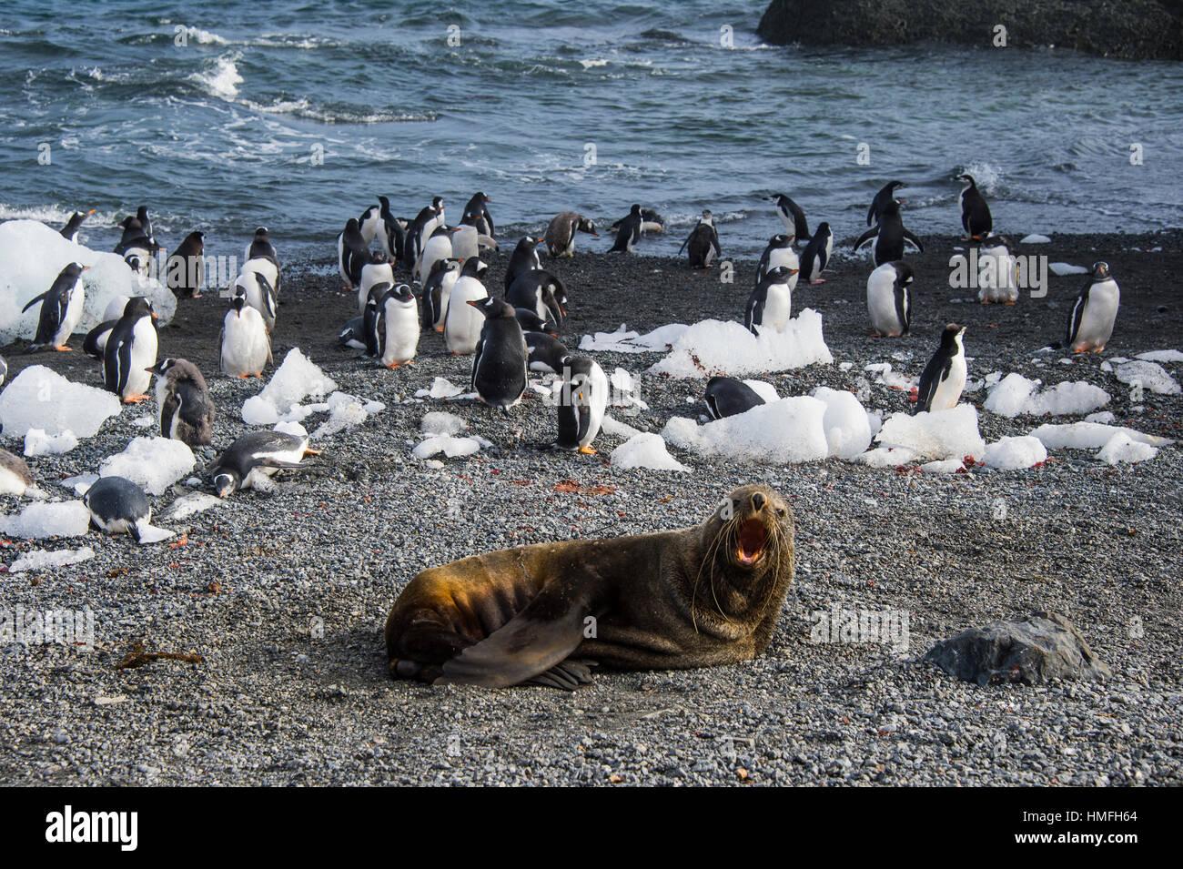 Antarctic fur juntaen delante de una colonia de pingüinos gentoo de cola larga, Isla Gourdin, La Antártica, Imagen De Stock