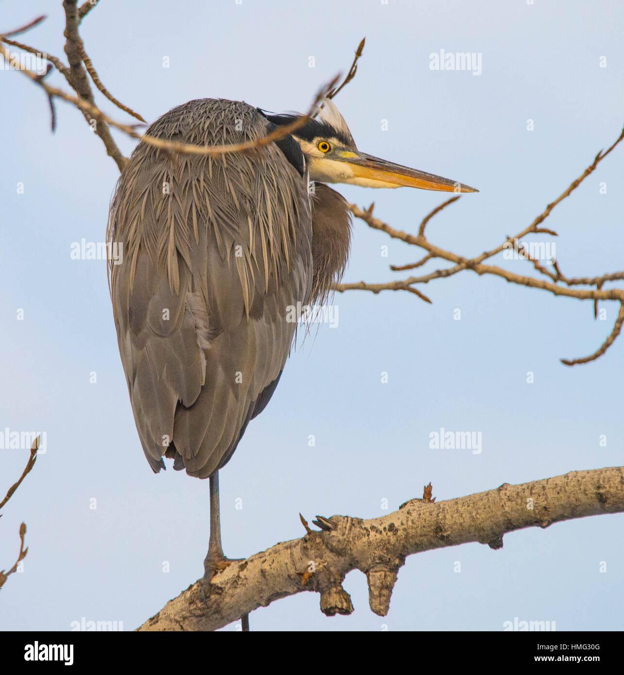 Aves, Great Blue Heron encaramado sobre un miembro del árbol en el invierno. Idaho, EE.UU. Imagen De Stock