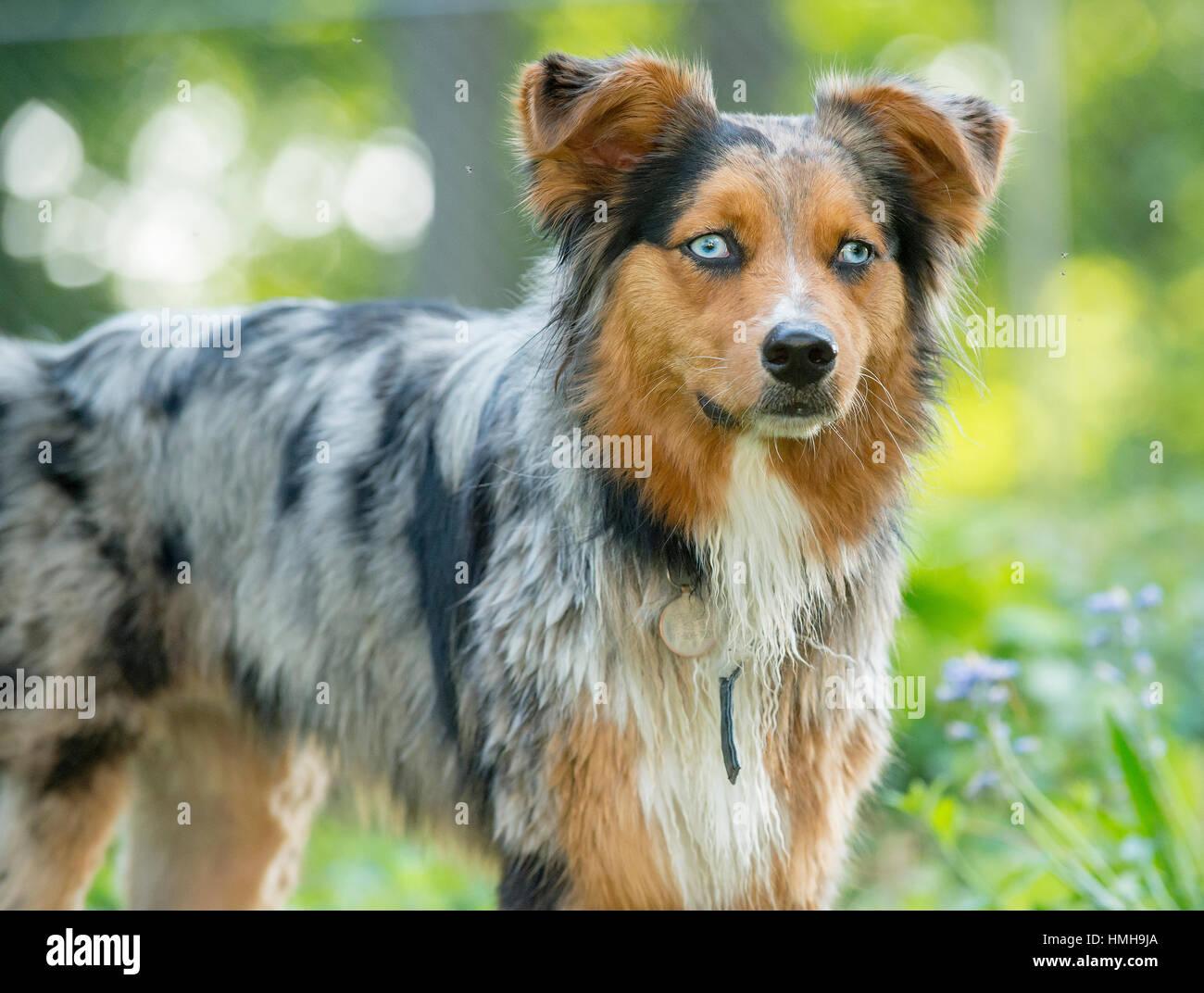 Precioso Pastor Australiano Shepard Aussie perro tricolor que plantean fuera 3/4 Imagen De Stock