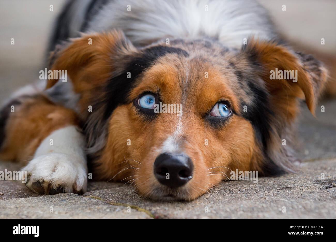Impresionantes ojos azules Pastor Australiano Shepard Aussie tricolor perro con la cabeza hacia abajo pata blanca Imagen De Stock