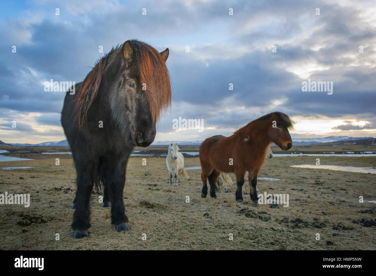 Caballo islandés (Eguus cabballus) retrato, paisaje islandés en Islandia. Imagen De Stock