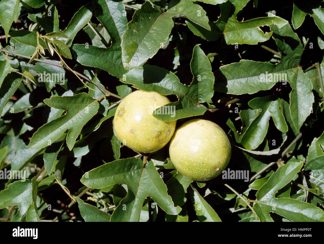 Violeta de agua de limón o fruta de la pasión (Passiflora edulis), Passifloraceae. Imagen De Stock