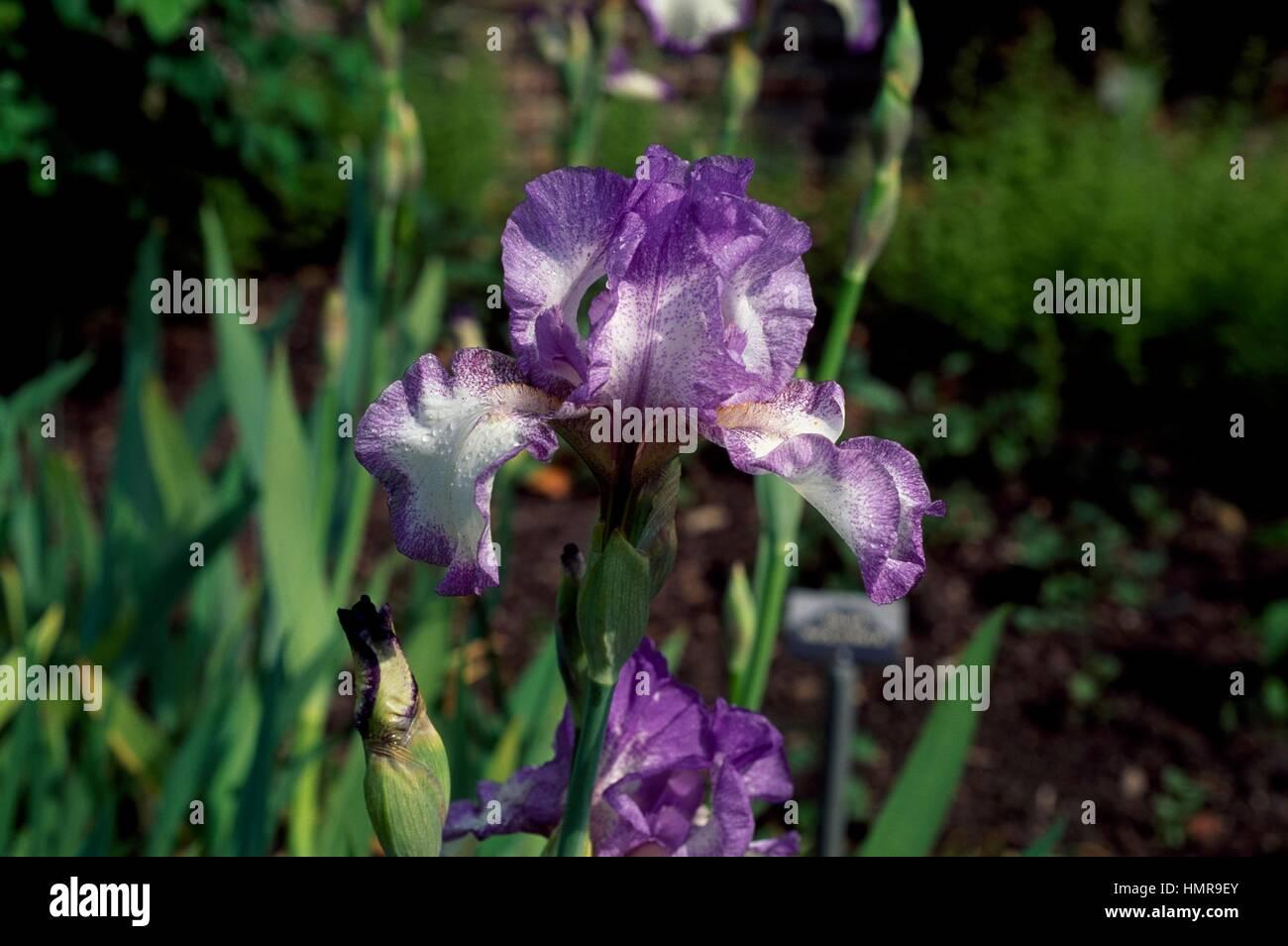 (Iris barbudo bailarín del Velo), Iridaceae, Sissinghurst Castle, Reino Unido. Foto de stock