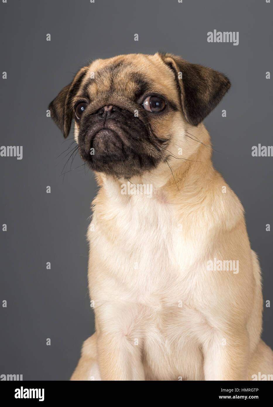 Perro Pug Imagen De Stock