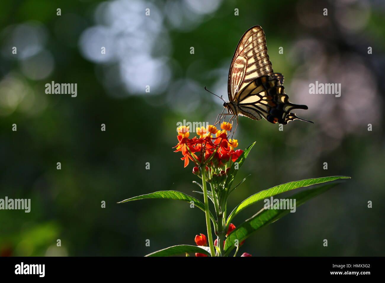 Butterfly (Papilio Xuthus) establece en flor bebiendo néctar Foto de stock