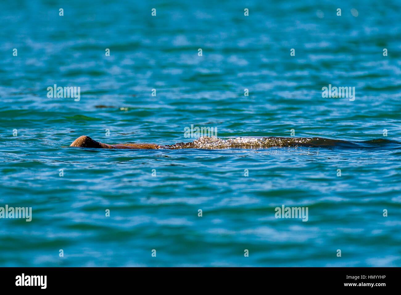 Una tímida Dugong superficies para respirar en el King George River. Imagen De Stock