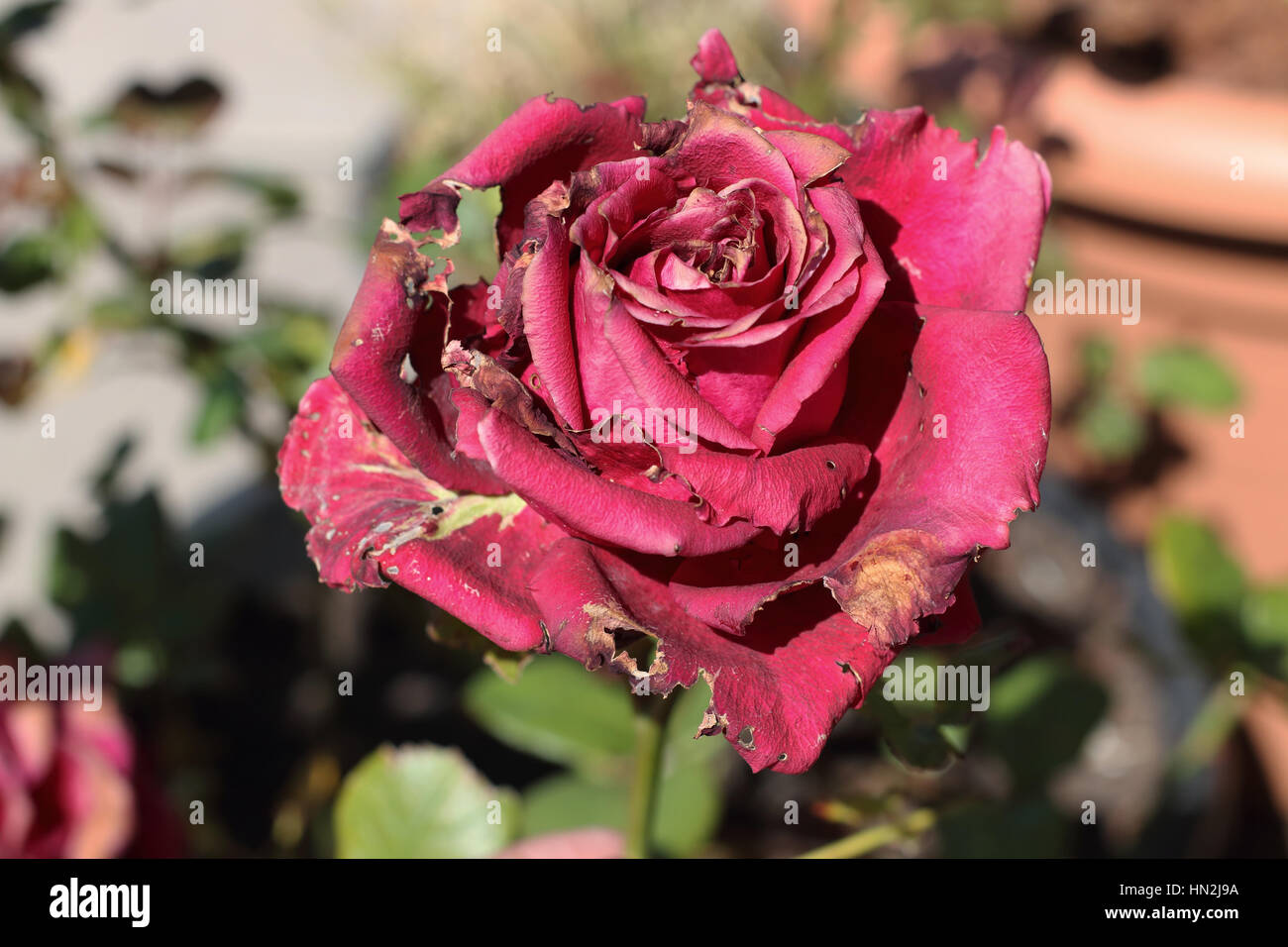 Primer plano de rosa roja afectados por plagas Imagen De Stock
