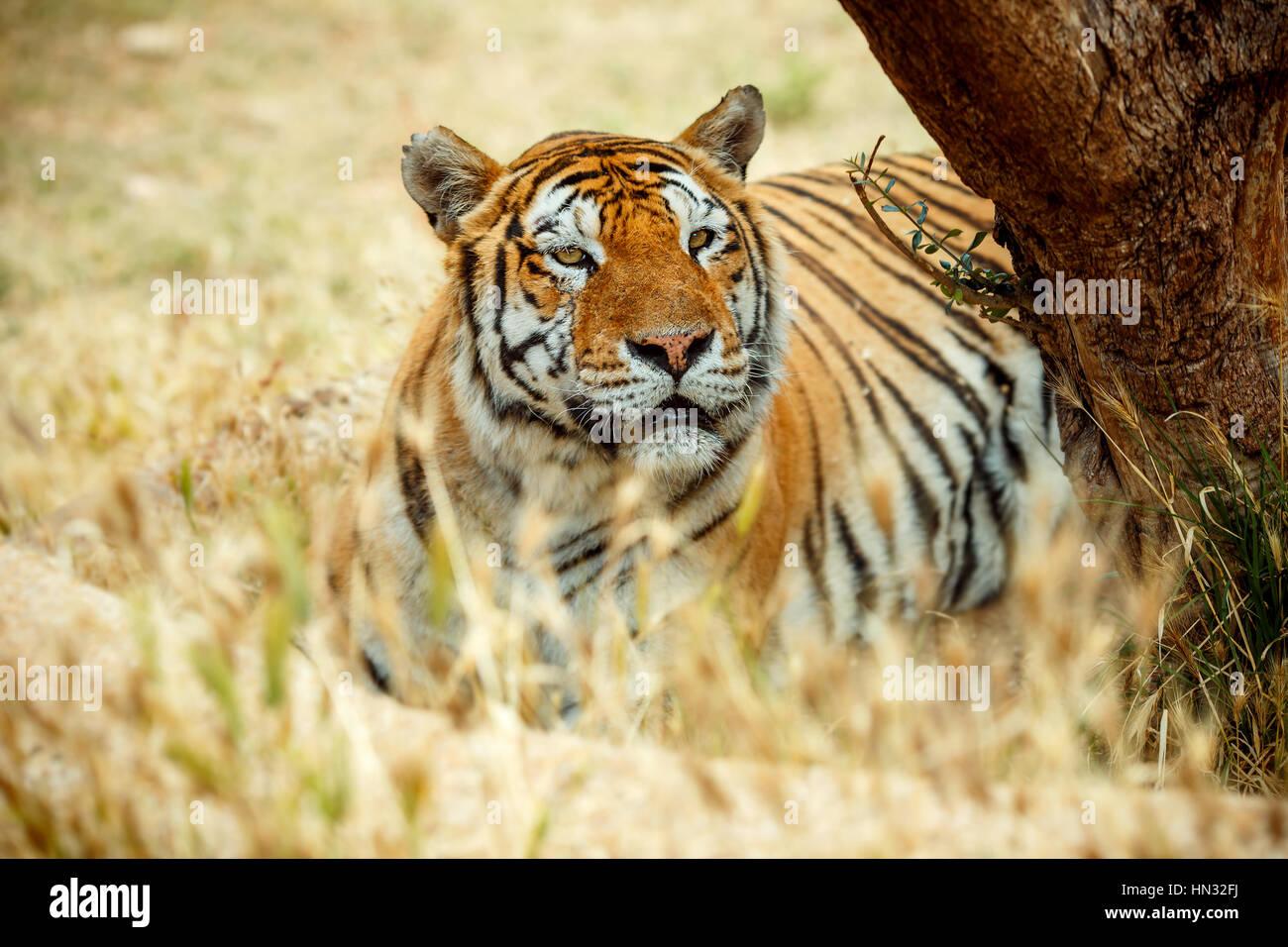 Tigre de Bengala en la hierba de día de verano Foto de stock
