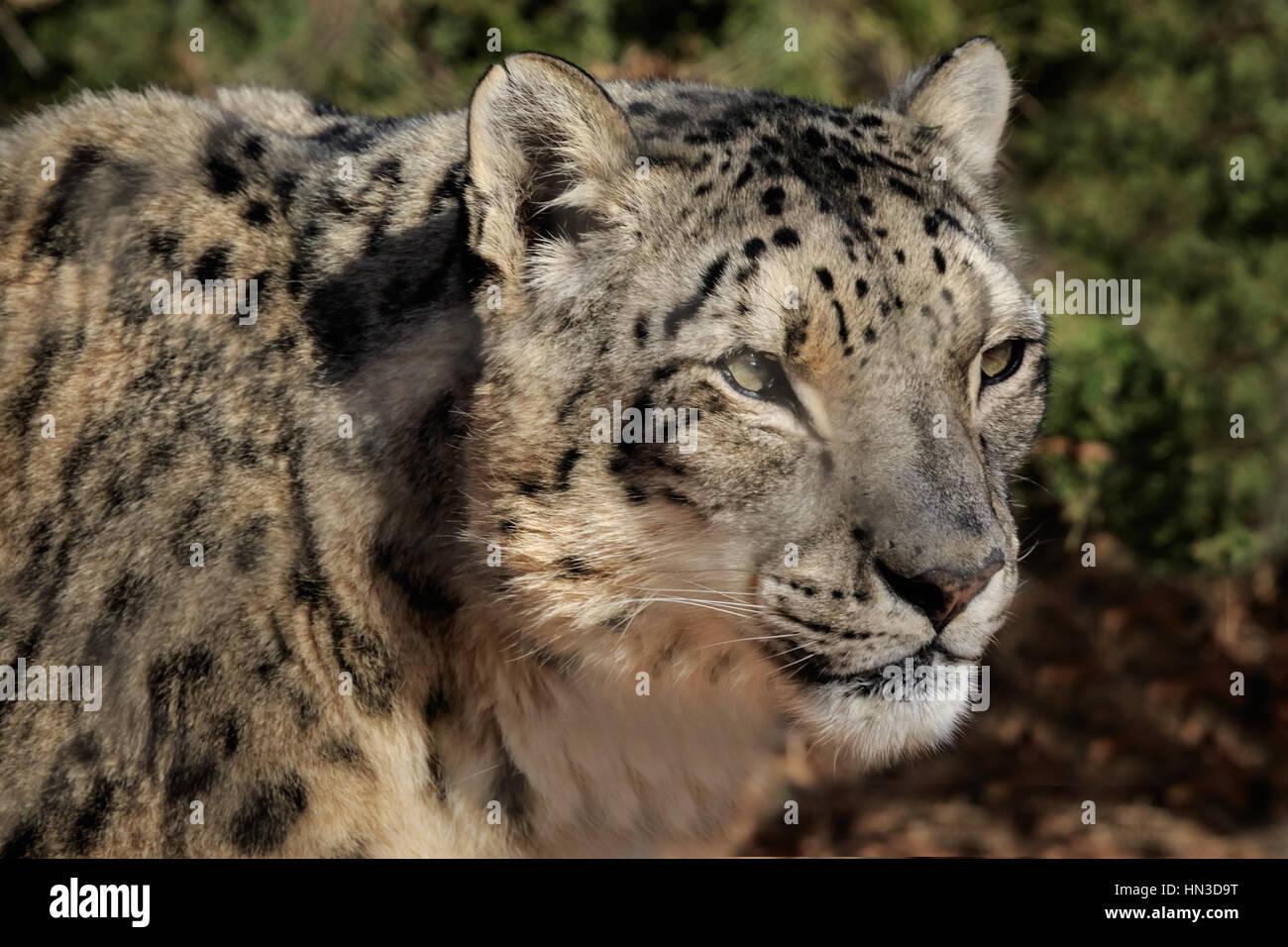Un Snow Leopard desde el zoológico de la ciudad de Oklahoma. Imagen De Stock