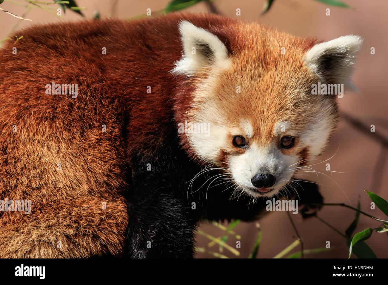 Los pandas rojos puede contarse para lindo. Este es desde el zoológico de la ciudad de Oklahoma. Foto de stock