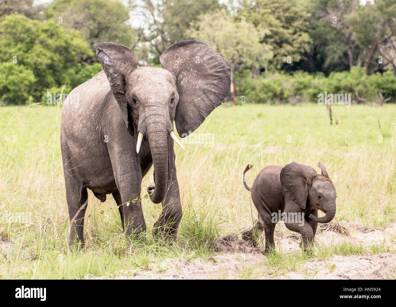 Un joven elefante africano con su hermano menor Foto de stock