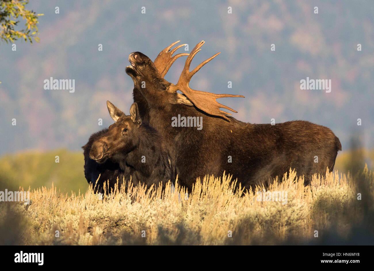 Respuesta flehmen por bull moose más vaca alce en medio de rutina en otoño Imagen De Stock