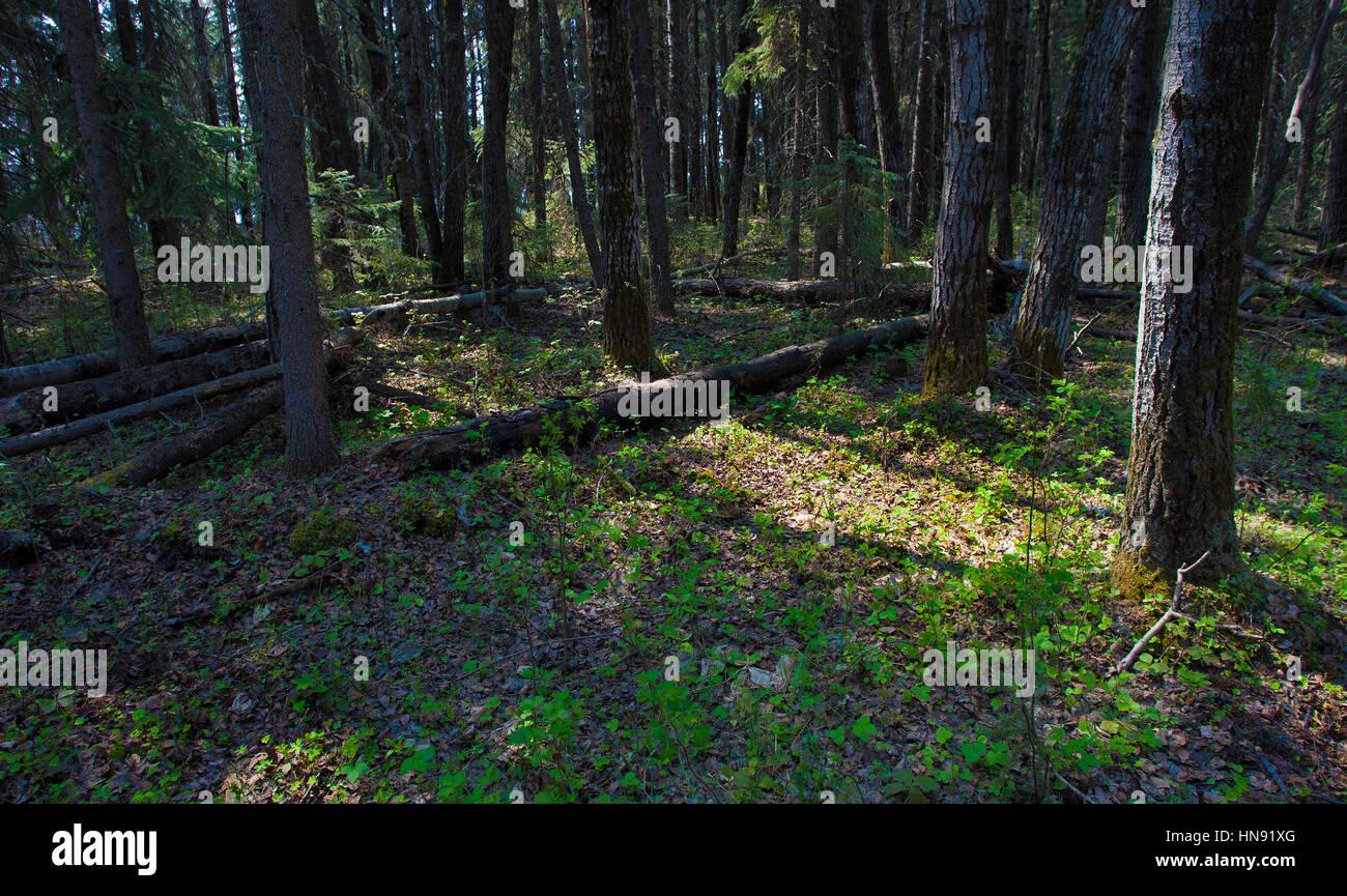 Luz de empezar a trabajar en un denso bosque en Canadá Imagen De Stock