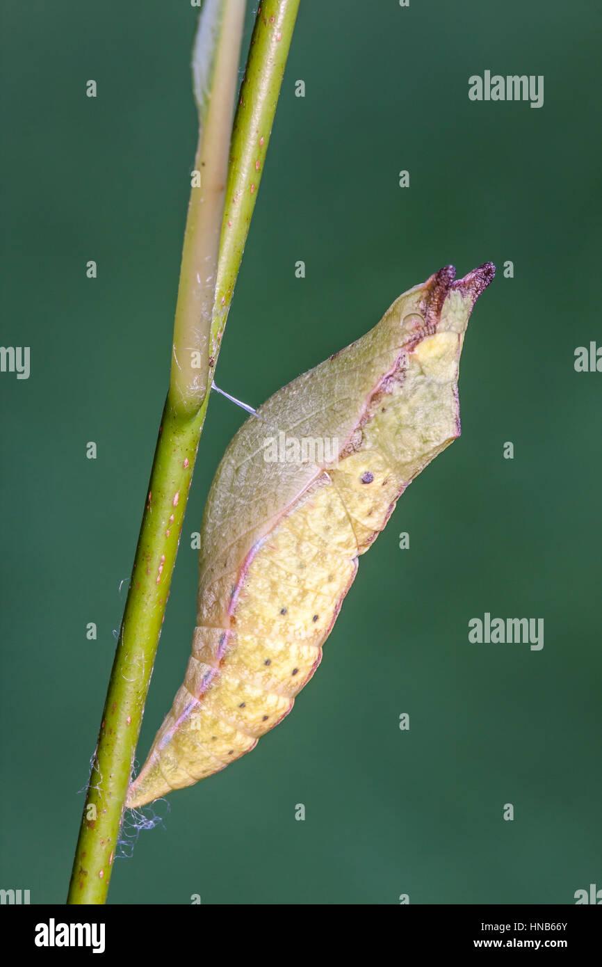 Spicebush especie (Papilio Troilo) Verano crisálida sobre Spicebush. Crisálida de esta especie pueden ser diversos Foto de stock