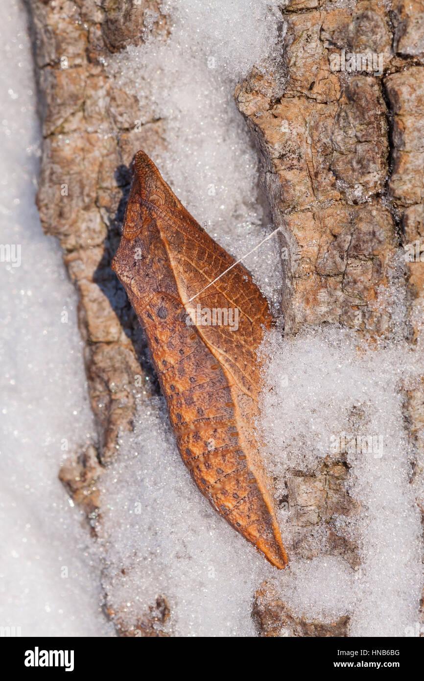Spicebush especie (Papilio Troilo) chrysalis en corteza de Acacia Negra después de las nevadas. Esta especie pasa Foto de stock