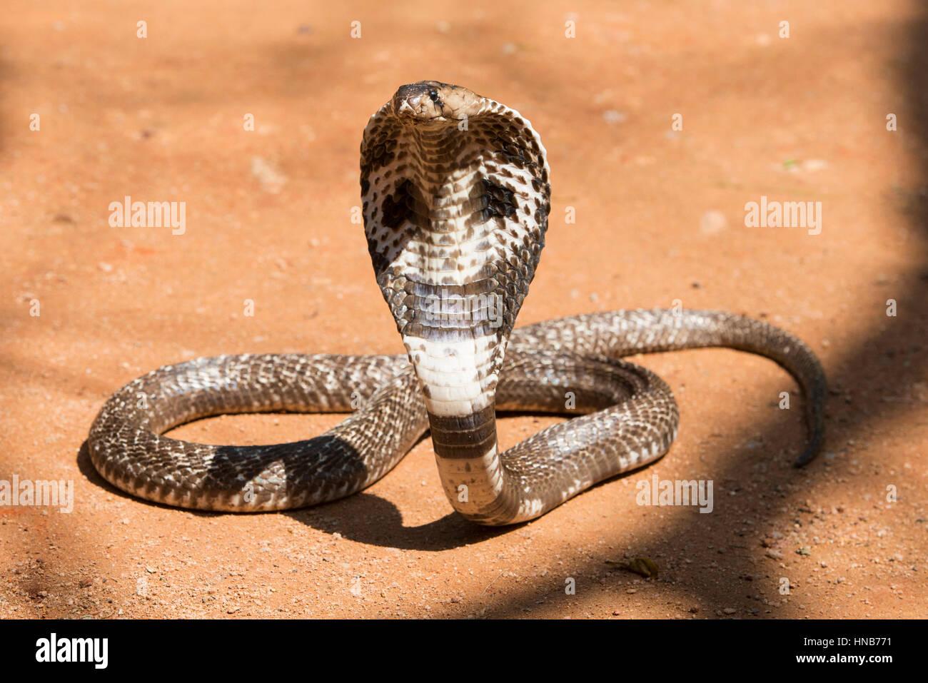 La cobra india o cobra de babas, Naja naja, Sri Lanka Foto de stock