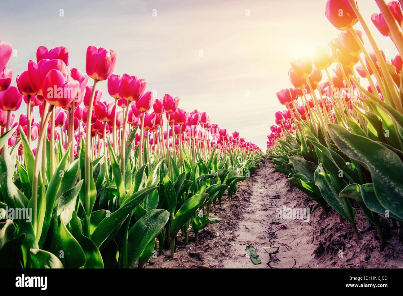 Filas de rosa tulipanes en Holanda. Imagen De Stock