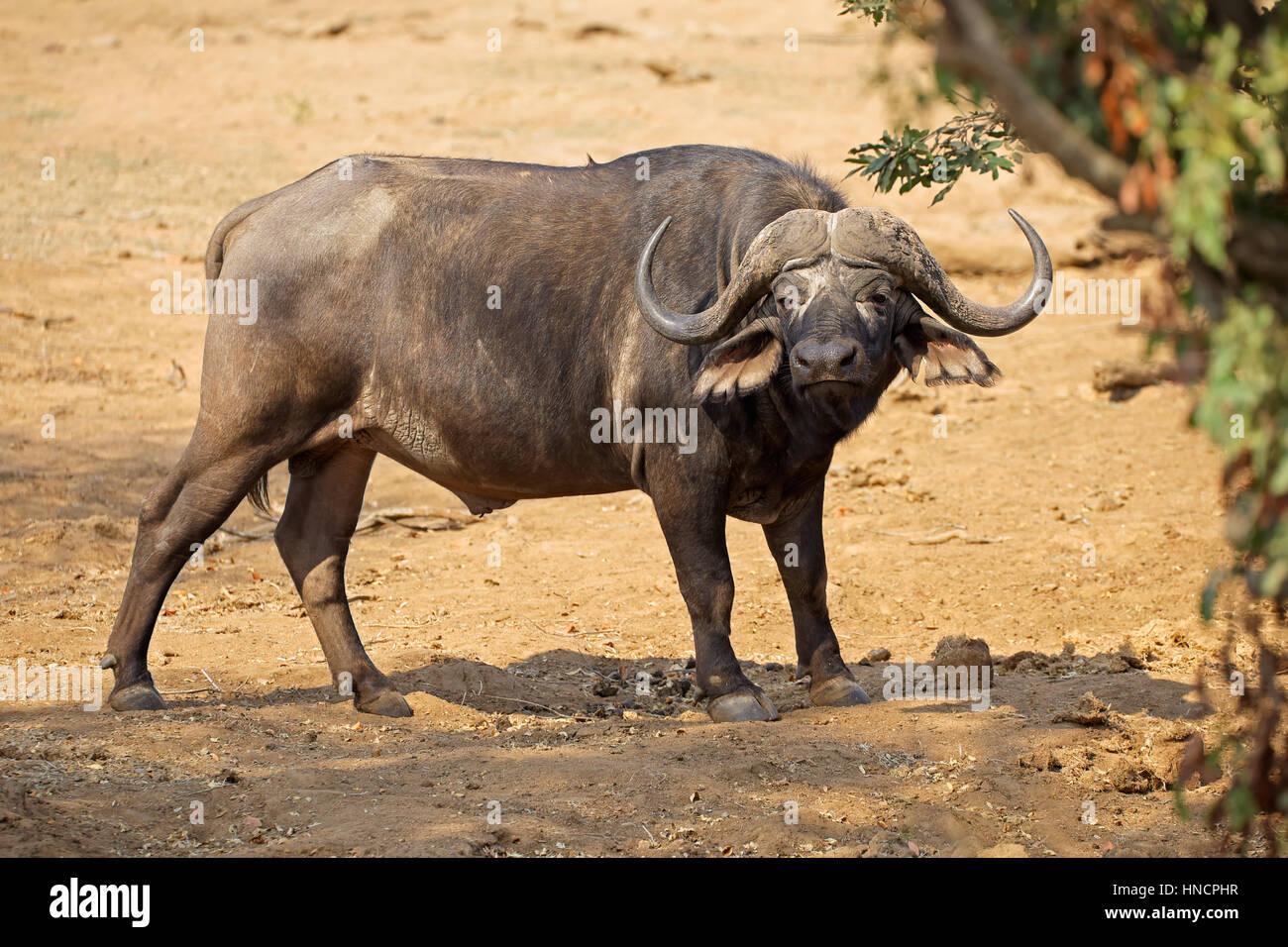 El búfalo africano (Syncerus caffer) en su hábitat natural, el Parque Nacional Kruger, Sudáfrica Imagen De Stock