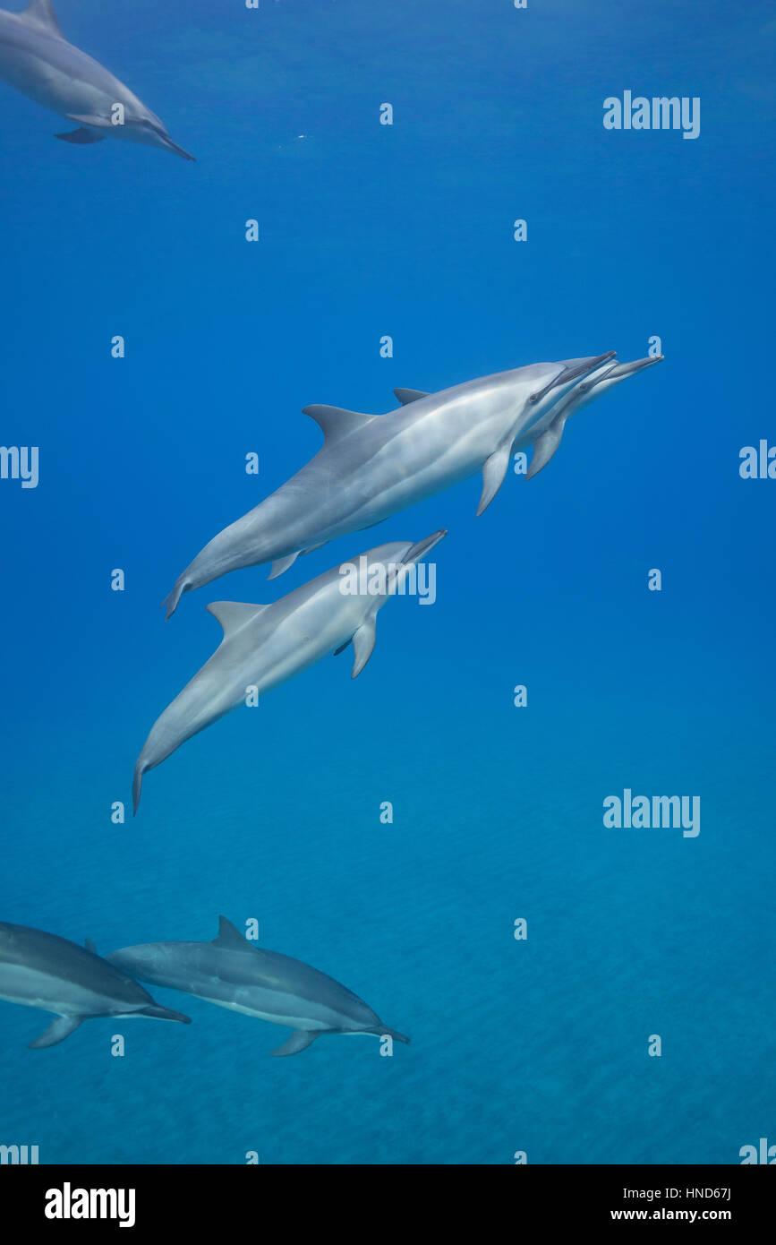 Hawaiian delfines giradores de Grey o delfines, Stenella longirostris longirostris, Hookena, sur de Kona, Hawaii ( la Isla Grande ), EE.UU. (Pacífico) Foto de stock
