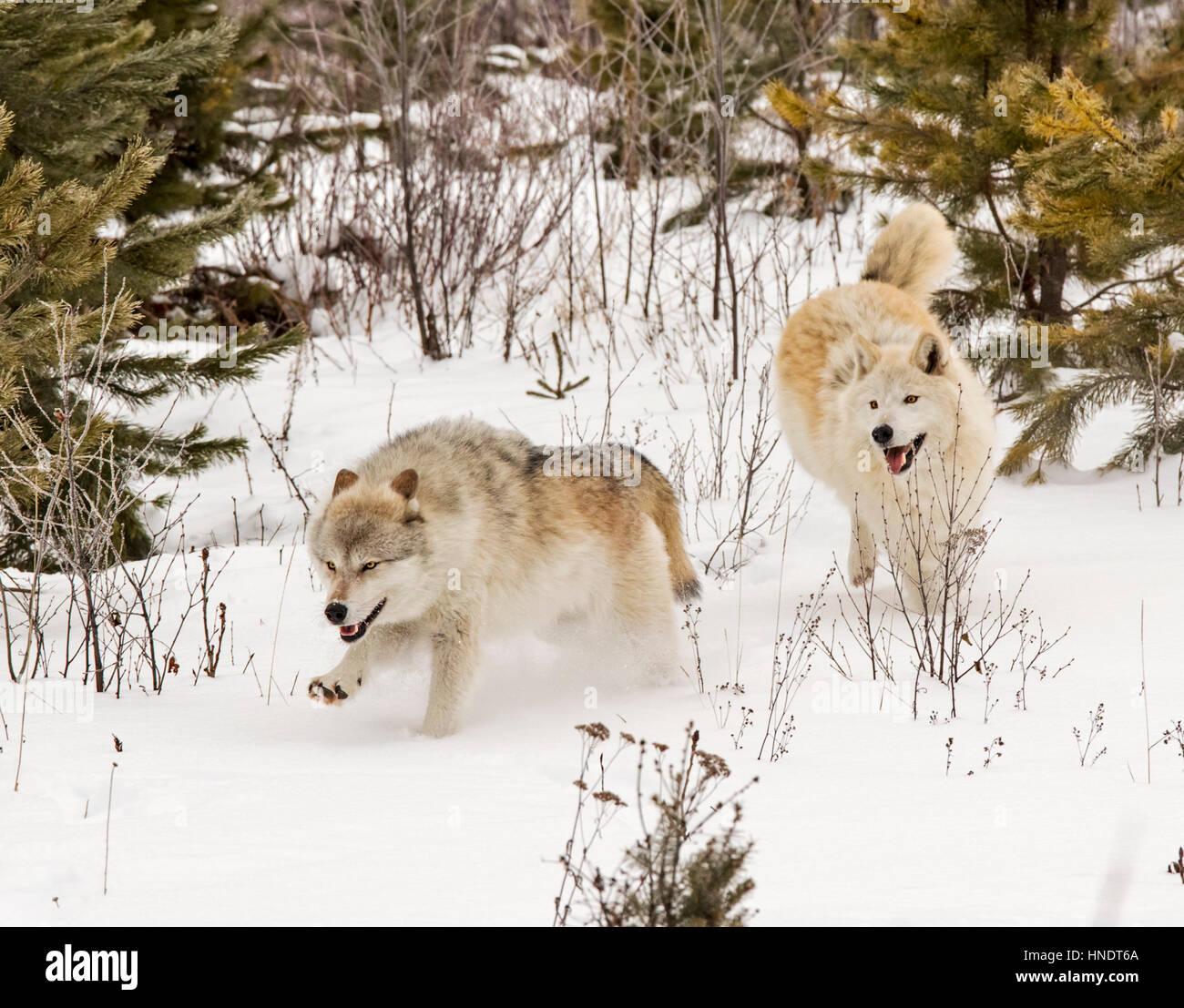 Dos Lobos Grises; Canus Lupus; British Columbia, Canada Foto de stock