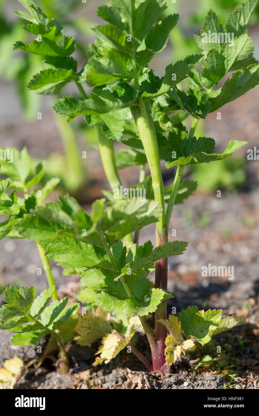 Echter Pastinak, Blatt, Blätter vor der Blüte, Pastinake, Hammelsmöhre, Pastinaca sativa, alcachofa Imagen De Stock