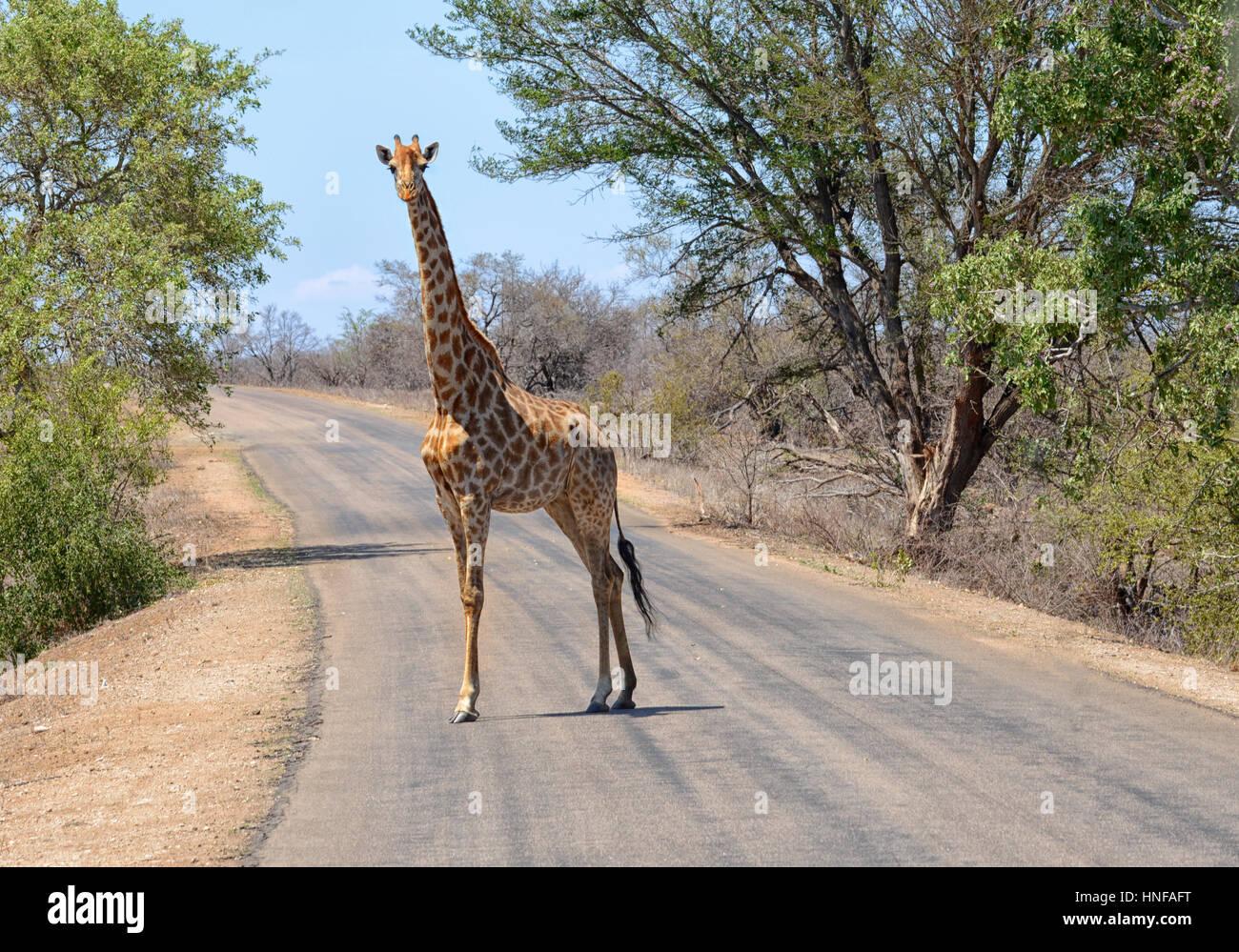 Jirafa en el Parque Nacional Kruger de Sudáfrica caminando a través de una carretera Foto de stock