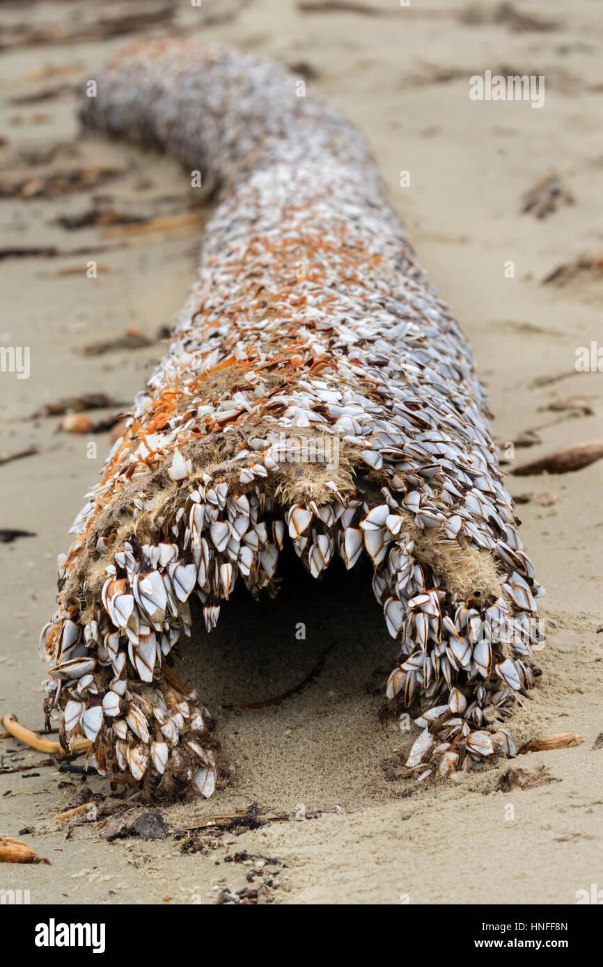 Percebes (orden Pedunculata), también llamado acechado o percebes, cuello de cisne en un podrido Driftwood en el Ocean Beach, Galveston, Texas, EE.UU. Foto de stock