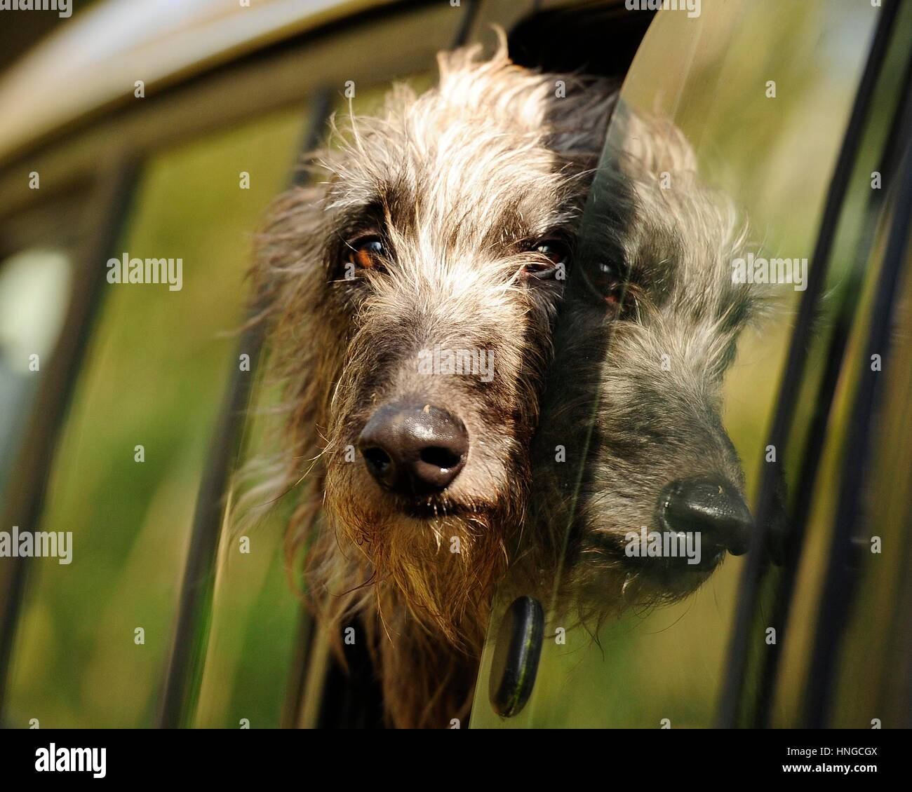 Perro mirando fuera de la ventana de coche Imagen De Stock