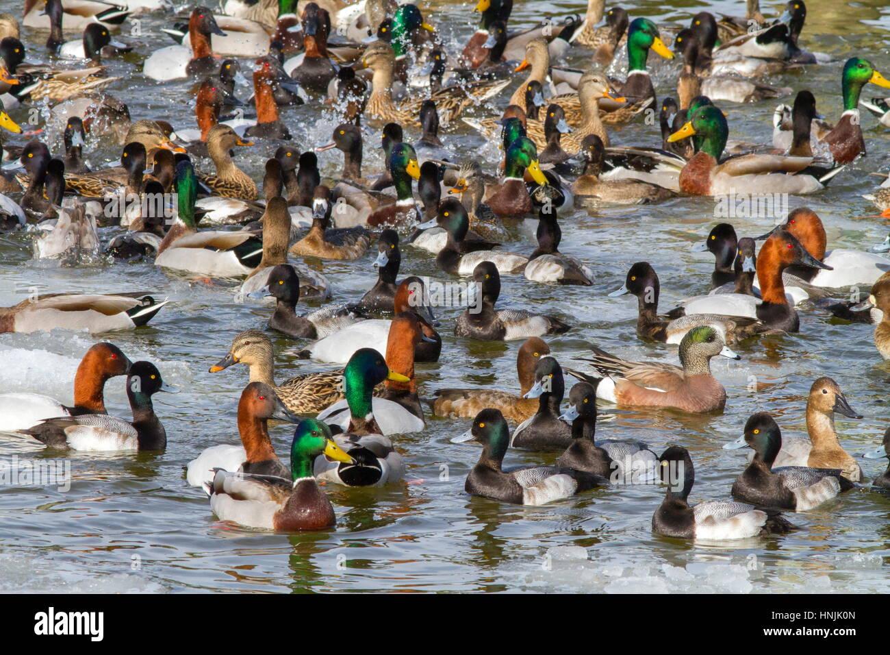 Diversidad de aves acuáticas: patos, Anas platyrhynchos, Lesser scaup patos, Aythya affinis, American silbón Imagen De Stock