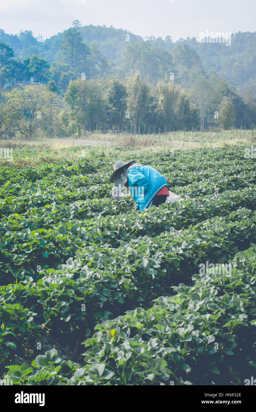 Selección farmman Fresa Fresa en cada día en la mañana tiempo Imagen De Stock