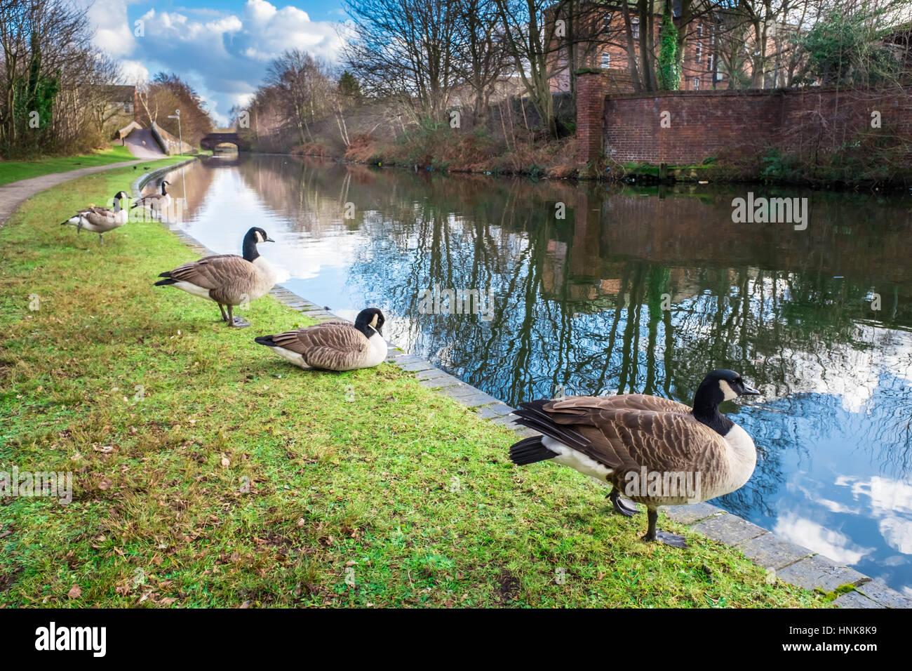 Los patos salvajes en Birmingham Canal Imagen De Stock