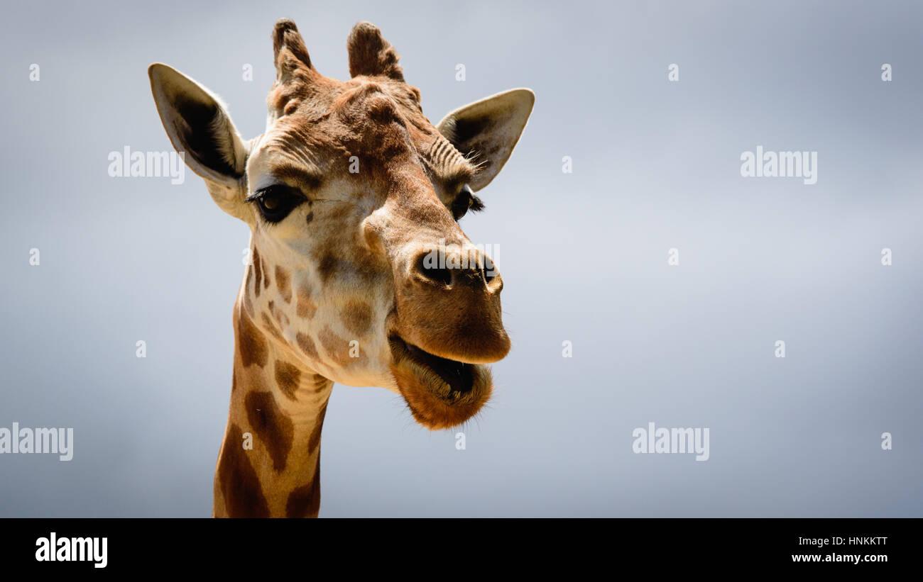Giraffe cara cerca, en el zoo de Sydney Imagen De Stock