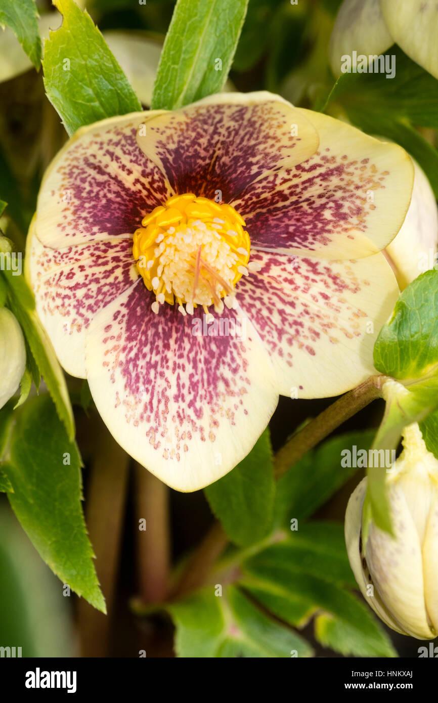 Manchas rojas superponer un pétalo color amarillo pálido en la forma de la rosa cuaresmal, Helleborus x hybridus Foto de stock