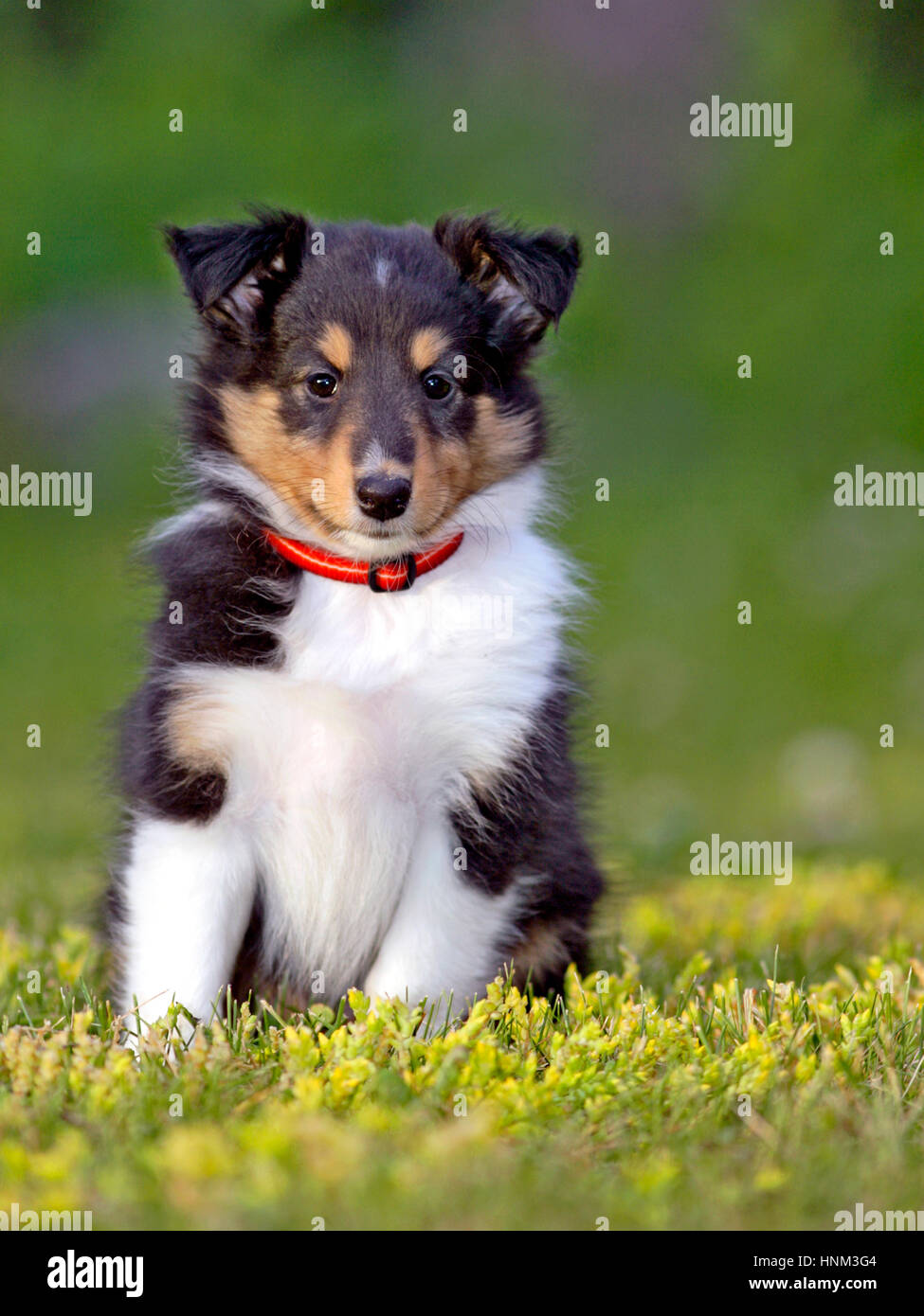 Cachorro Ovejero Shetland , pocas semanas de edad, sentada sobre el césped Foto de stock