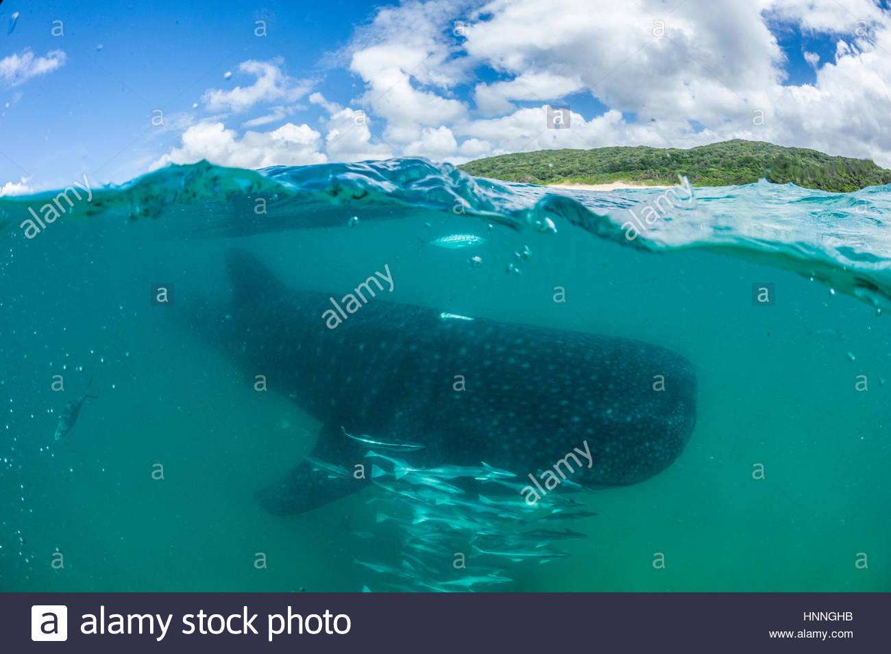 Un tiburón ballena nadando en el Océano Índico en la Ponta do Oro Reserva Marina, Mozambique. Imagen De Stock