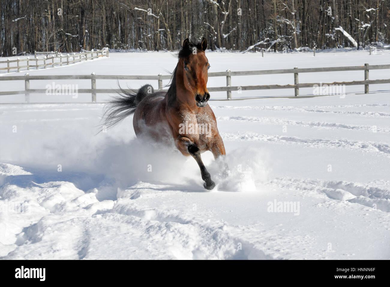 Exuberante Bahía Arabian Horse girando y tirones en la profunda nieve en polvo en una soleada, cercados en Imagen De Stock