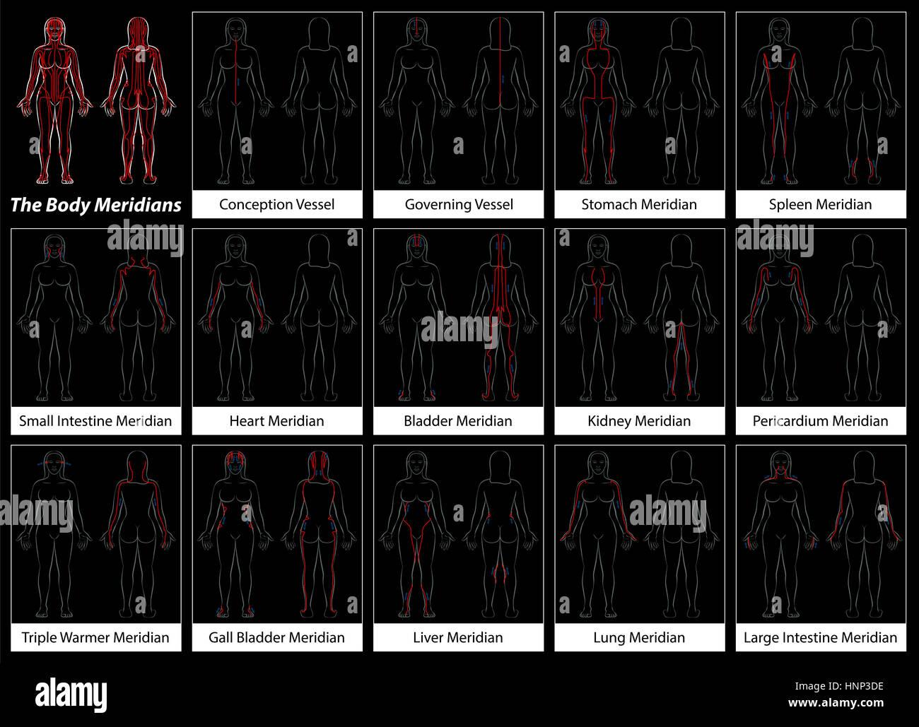 Organs Diagram Imágenes De Stock & Organs Diagram Fotos De Stock - Alamy