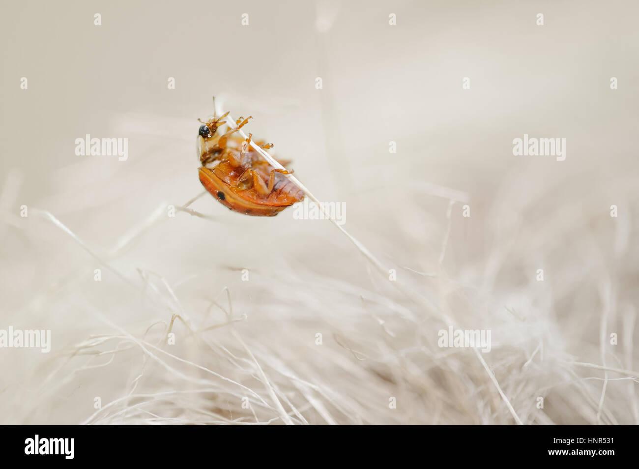 Ladybug mirando como un monstruo de horror. Bug de miedo subir en tallos de color beige. Foto de stock