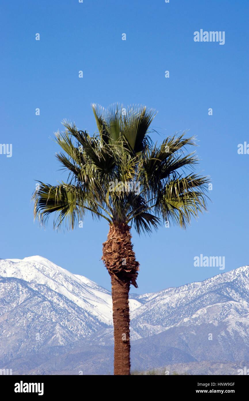 Palmera y montañas con nieve cerca de Palm Springs Foto de stock