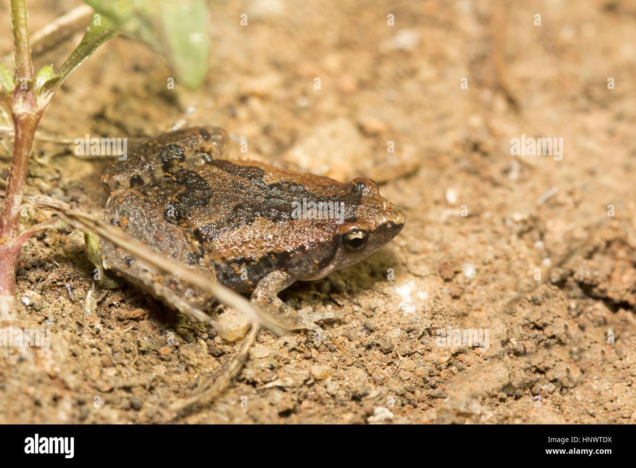 Microhyla Narrowmouthed Rana sp., Barnawapara WLS, Chhattisgarh. Familia Microhylidae y consta de una serie de diminutos Imagen De Stock
