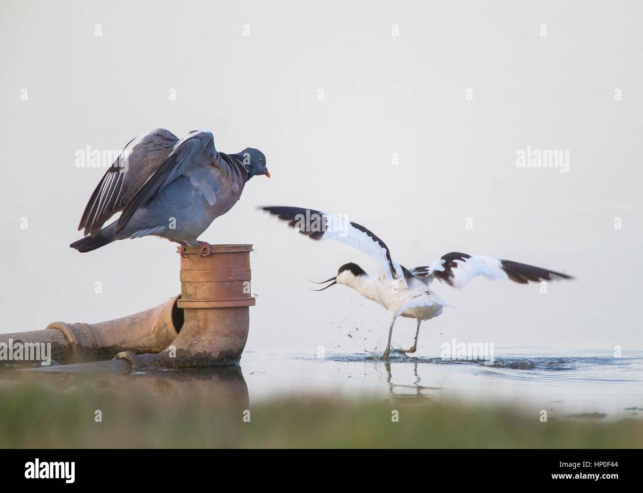Avocet (Recurvirostra avosetta) en airada confrontación con la paloma torcaz (Columba palumbus) que está Imagen De Stock