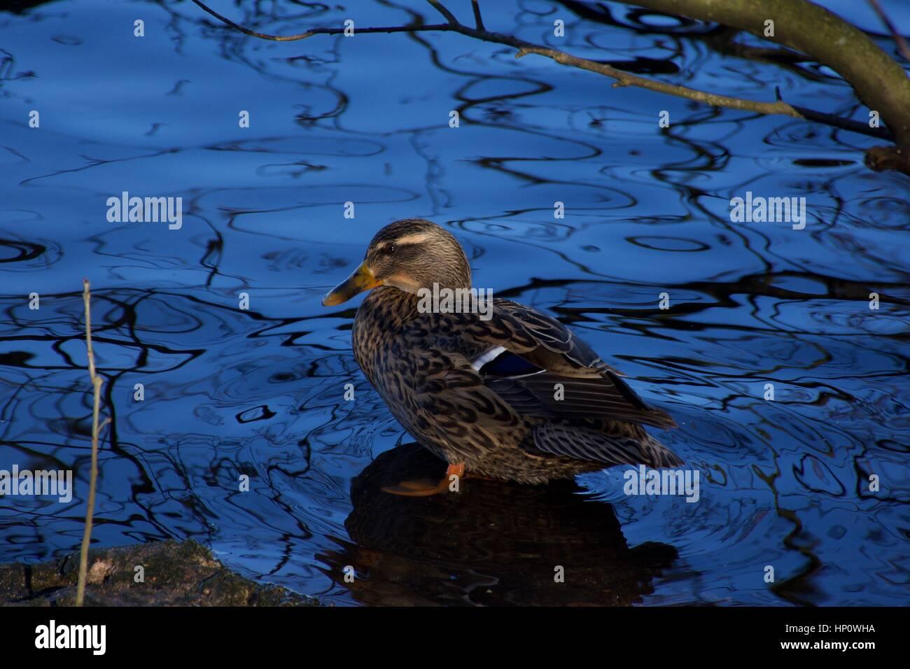 Pato de pie en agua azul,Westport lago reserva natural en invierno,Stoke on Trent, Reino Unido.luz natural,sky reflection.Anas Imagen De Stock