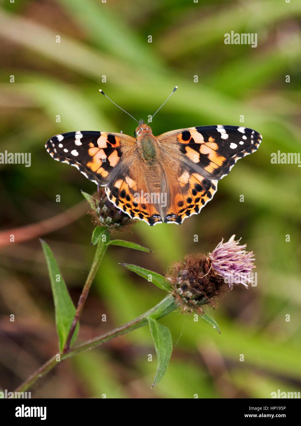 Painted Lady nectaring en mala hierba. Hurst Park, West Molesey, Surrey, Reino Unido. Imagen De Stock
