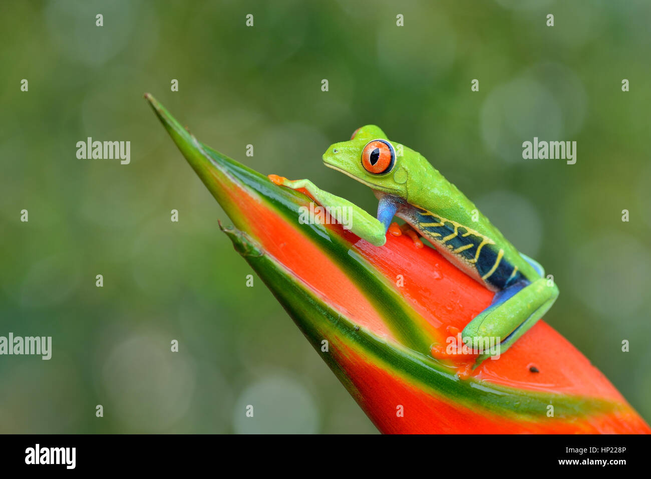 Red-eyed Tree Frog en el bosque lluvioso de Costa Rica Foto de stock