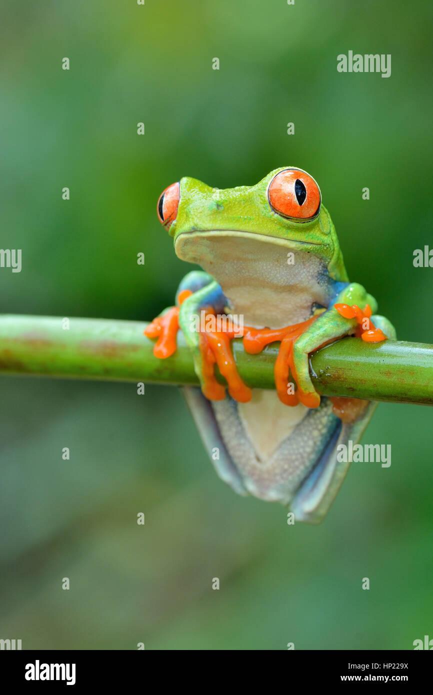 Red-eyed Tree Frog en el bosque lluvioso de Costa Rica Imagen De Stock