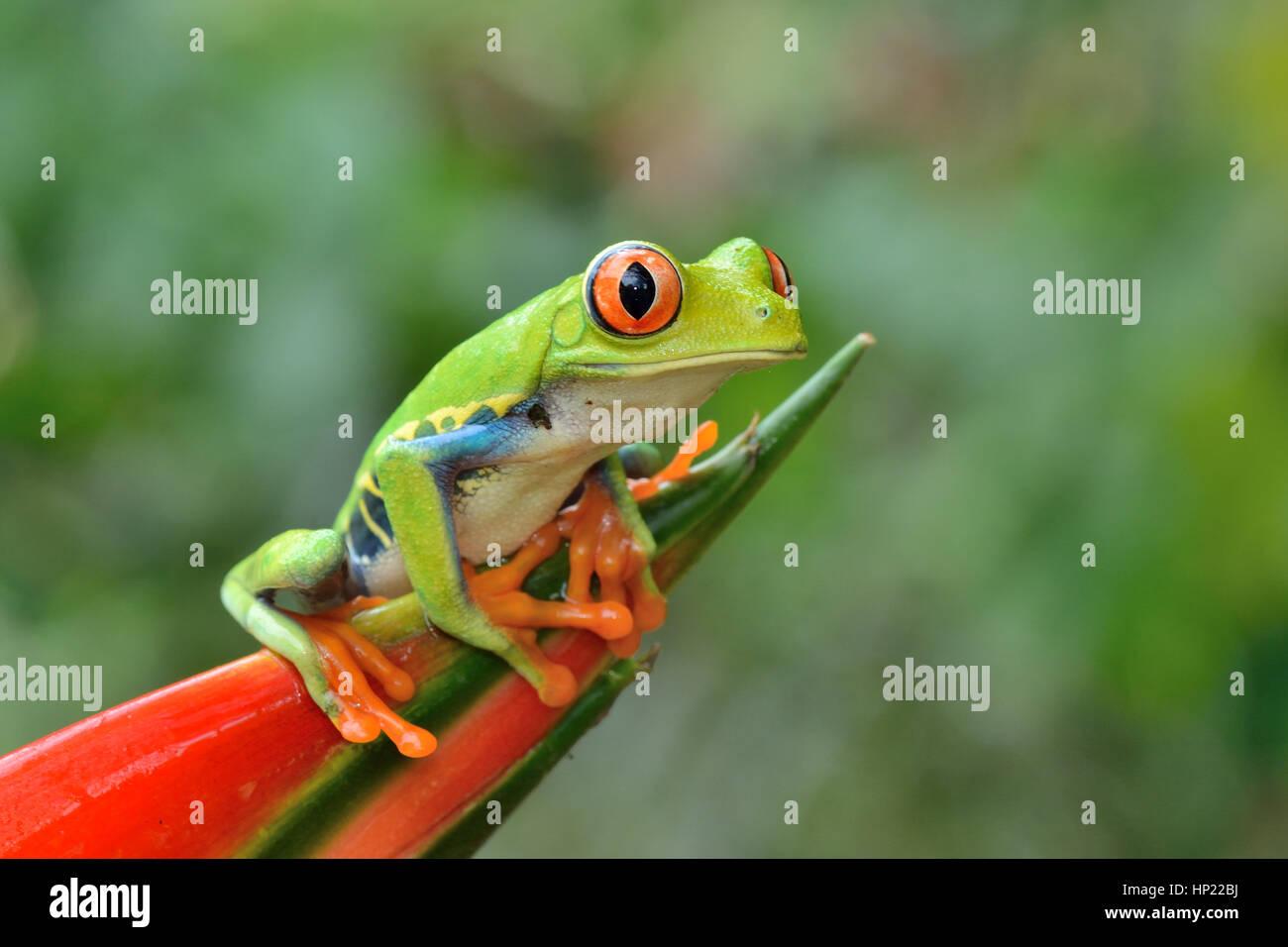 Red-eyed Tree Frog en el bosque lluvioso de Costa Rica Foto de stock