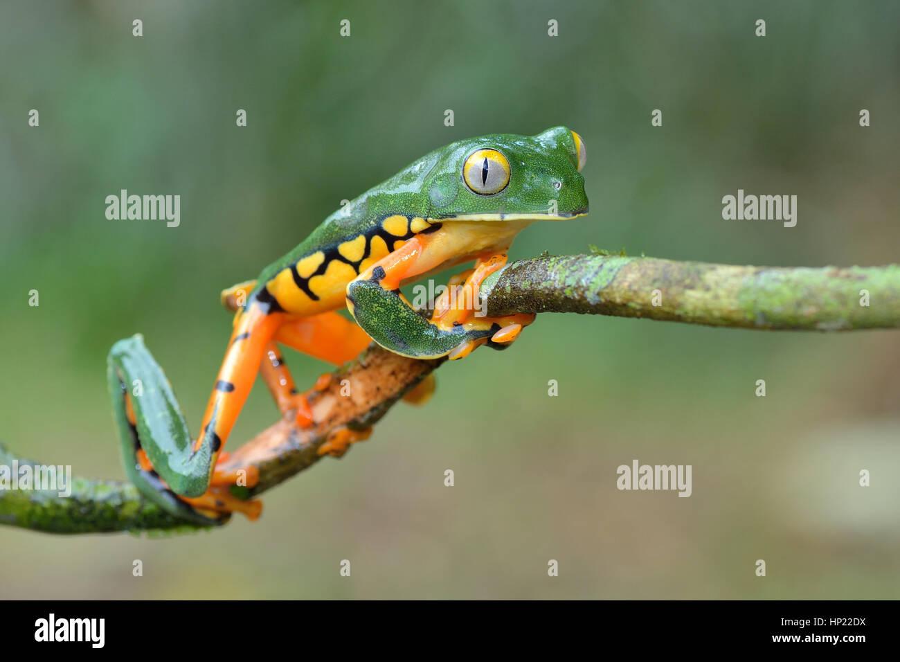 Un raro espléndida hoja rana en Costa Rica Bosque lluvioso de bajura Imagen De Stock