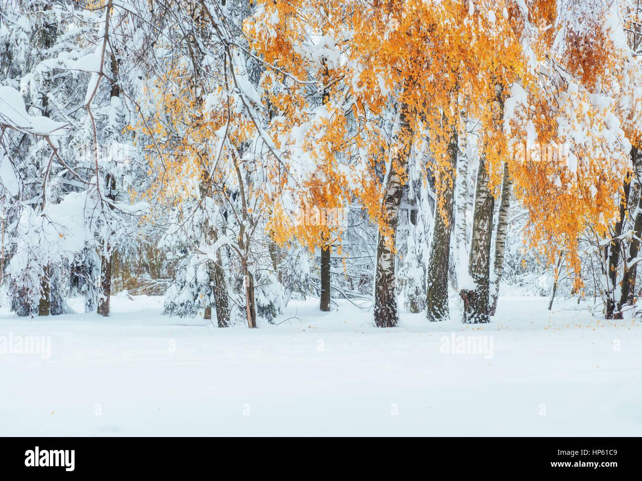 Octubre hayedo de montaña con la primera nieve del invierno. Los Cárpatos. Imagen De Stock