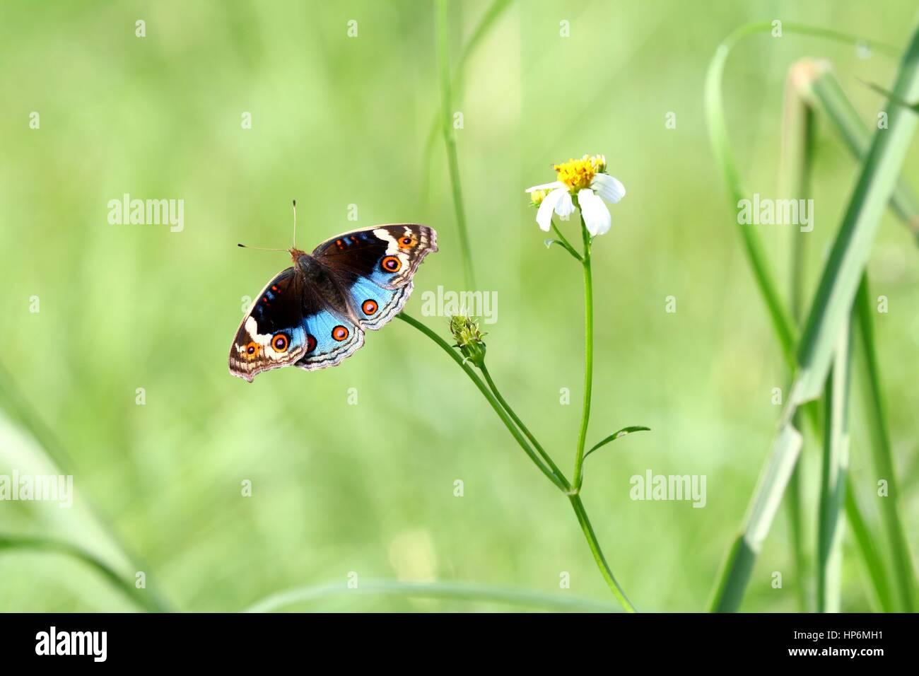 Pansy azul (junonia orithya) beber el néctar. Foto de stock