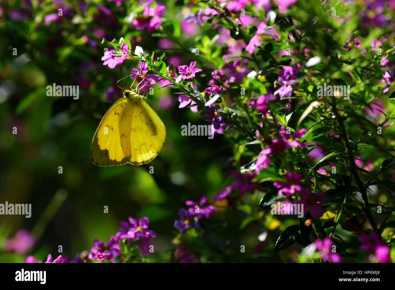 Conjuntos de mariposas en flor bebiendo néctar Foto de stock